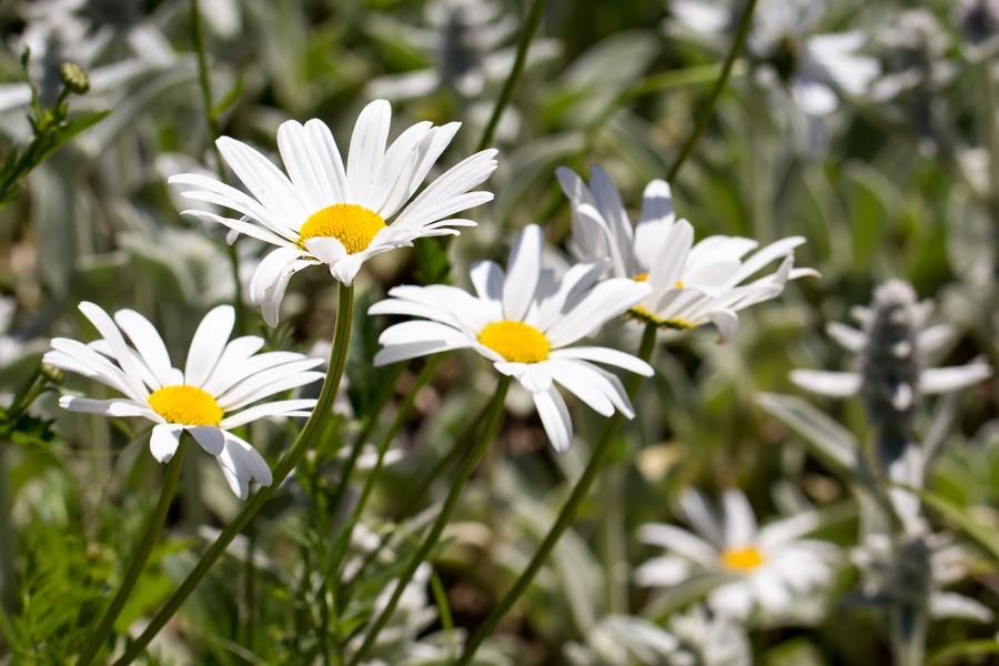 Blumen Weiss/Gelb
