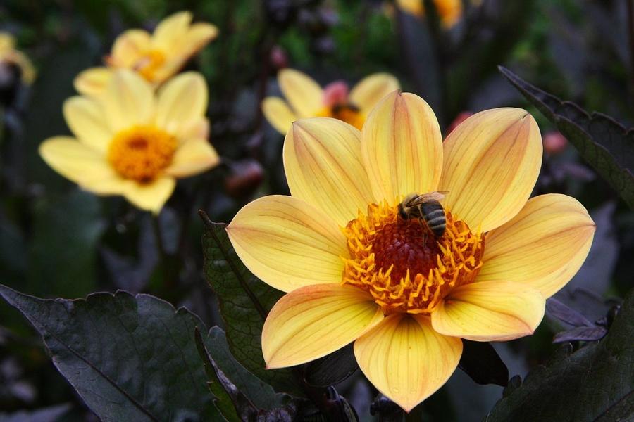 Biene in gelber Blume