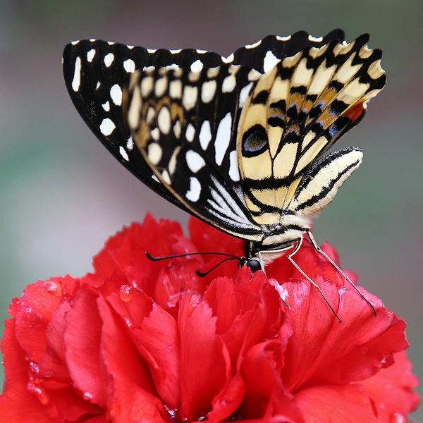 Schmetterling in einer Nelke Nahaufnahme