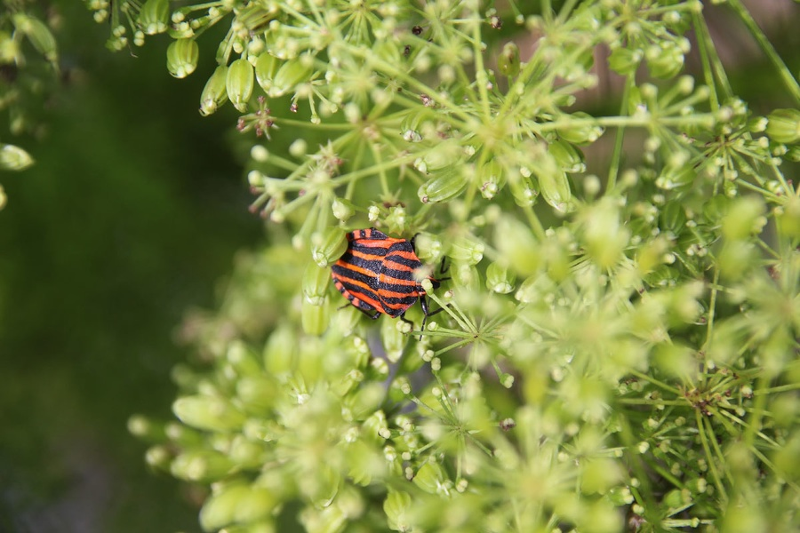 Käfer gestreift