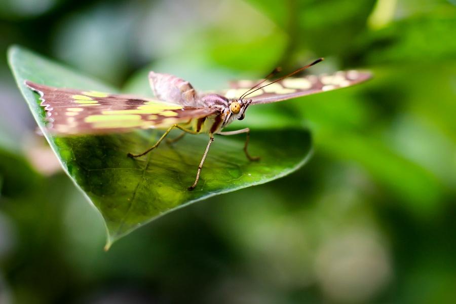 Schmetterling braun gelb