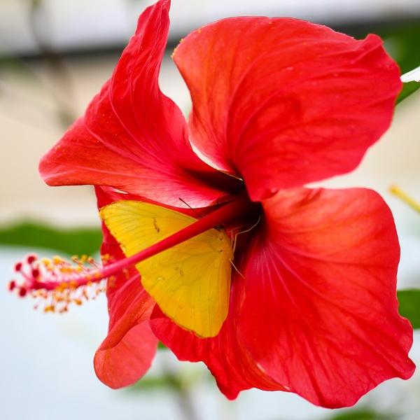 Gelber Schmetterling in Blume