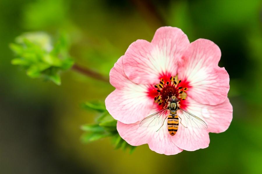 Wespe auf einer Blüte Nahaufnahme
