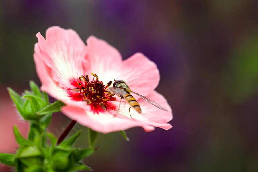 Wespe in einer Blüte Nahaufnahme