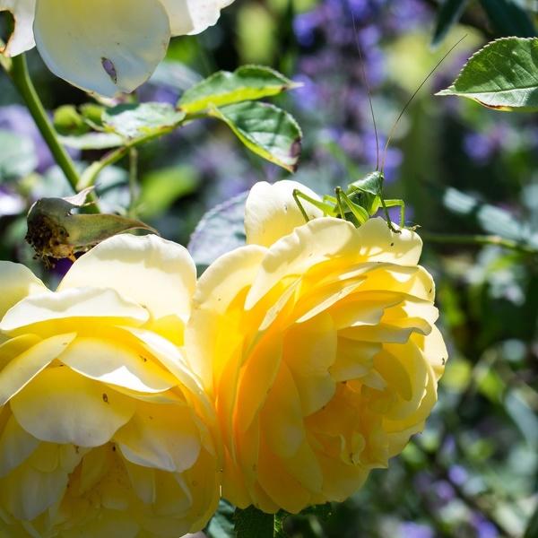 Grashüpfer auf Rose