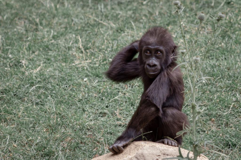 GorillaJunior-5334